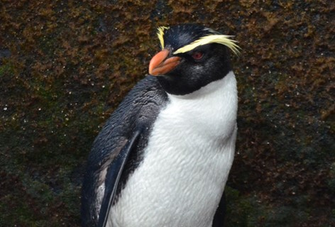 A Milford Sound local, the Fiordland crested penguin. Stay at Milford Sound Lodge to meet him.