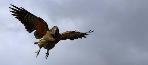 A kea comes in to land in Milford Sound. A Milford Sound Lodge regular guest.
